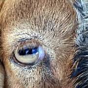 Here's Looking At You Kid - The Truth About Goats' Eyes Art Print