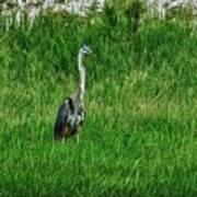 Heron In The Grasses Art Print