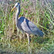 Heron In The Wetlands Art Print