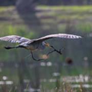 Heron With Nesting Material Art Print
