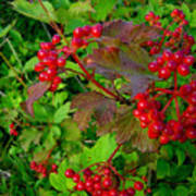 Hi Bush Cranberry Close Up Art Print