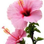 Hibiscus 7 V2 Art Print