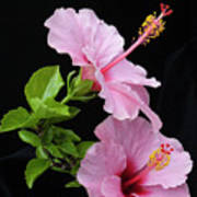 Hibiscus 7 V4 Art Print