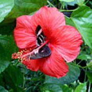 Hibiscus And Butterfly Diners Art Print