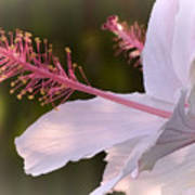 Hibiscus Bloom Pastel Art Print