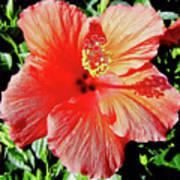 Hibiscus - Dew Covered - Beauty Art Print