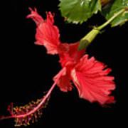 Hibiscus On Black Background Art Print