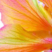 Hibiscus Petals Art Print