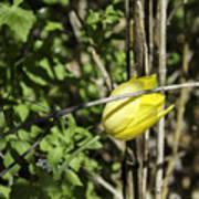Hidden Yellow Tulip Art Print