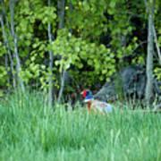 Hiding In The Grass. Pheasant Art Print