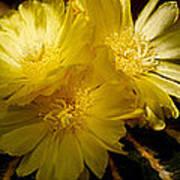 High Angle View Of Cactus Flowers Art Print