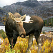 High Country Moose Art Print