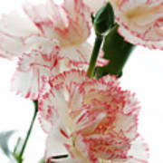 High Key Pink And White Carnation Floral  Art Print