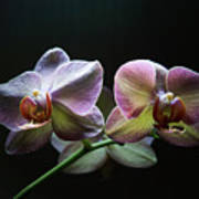 Highlighted Orchids Art Print