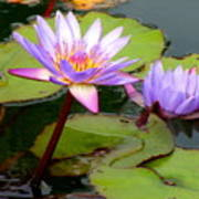 Hilo Water Lily 2 Art Print