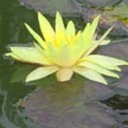 Hilo Water Lily 4 Art Print