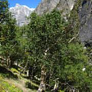 Himalayan Bhojpatra Trees 4 Art Print
