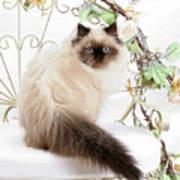 Himalayan Kitten Art Print