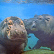 Hippos In Love Art Print