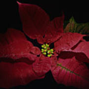 Holiday Poinsettia Art Print