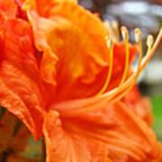 Home Decor Orange Rhodie Flower Art Print Baslee Troutman Art Print
