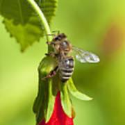 Honey Bee 11 Art Print