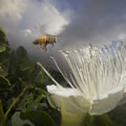 Honey Bee Apis Mellifera Approaching Print by Mark Moffett