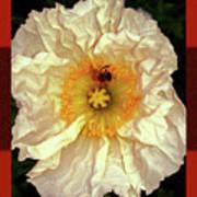 Honey Bee In Stunning White And Gold Flower Art Print