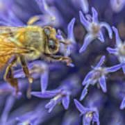 Honey Bee On Globe Allium Art Print