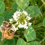 Honeybee Drinking From Clover Bloom   Summer  Indiana Art Print