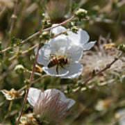 Honeybee Gathering From A White Flower Art Print
