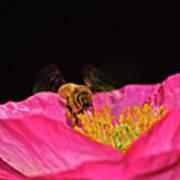 Honeybee In Flight 010 Art Print