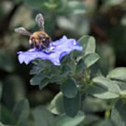 Honeybee On Blue Daze Art Print