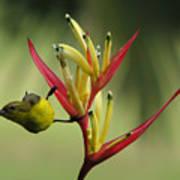 Honeyeater On Bird Of Paradise Art Print