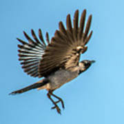Hooded Crow In Flight Art Print