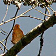 Hook Winged Butterfly Art Print