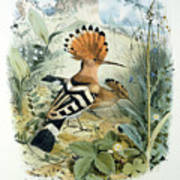 Hoopoe Art Print by Edouard Travies
