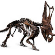 Horned Dinosaur Skeleton Art Print