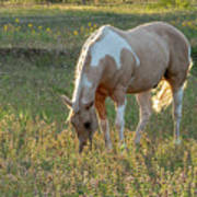 Horse Feeding In Grass Farm With Sunset Light From The Left Art Print