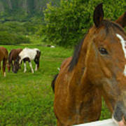 Horses At Kualoa Ranch Art Print