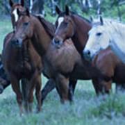 Horses Looking Art Print