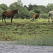 Horses On Ireland's River Shannon Art Print