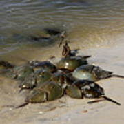 Horseshoe Crabs Art Print