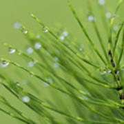 Horsetail With Dew Art Print