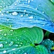 Hosta After The Rain Art Print