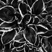 Hosta In Black And White Art Print