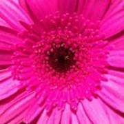 Hot Pink Gerbera Art Print