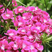 Hot Pink Sweet William Flowers In A Garden Blooming Art Print