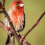 House Finch In Full Color Art Print