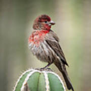House Finch Perched On Cactus  Art Print